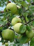 Яблони не вымерзают и плодоносят, если …