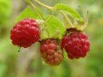 Почему мельчают ягоды малины?