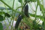 Как продлить плодоношение огурцов в теплице