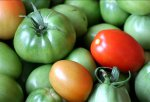 Как ускорить созревание помидоров