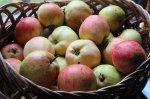 Хранение яблок. Дезинфекция хранилища и плодов