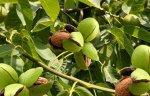 Грецкий орех: сорта, выращивание