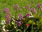 Бадан украсит сад и вылечит