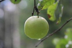 Сорта плодовых культур для Северо-Запада