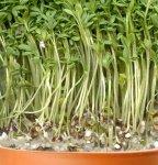 Кресс-салат (Lepidium sativum)