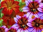 Сальпиглоссис: выращивание, уход