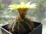 Суккуленты и кактусы на подоконнике