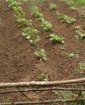 Посадка картофеля резаными клубнями