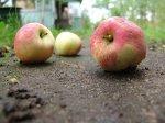 Яблоневая плодожорка – вредитель сада