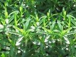 Чабер (Satureja hortensis)