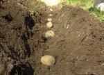 Когда и как сажать картофель