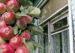 Колонновидная яблоня: уход в течение сезона
