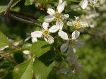 Коккомикоз вишни: меры борьбы