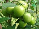 Урожай томатов в зоне рискового земледелия