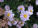 Астры: 5 наиболее известных видов соцветия