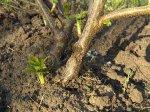 Борьба с вредителями сада методом ошпаривания