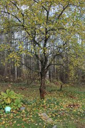 Почему яблоня осенью не сбросила листья?