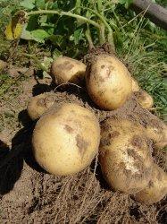 Чем полезен картофель?