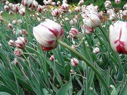 Тюльпаны в нашем саду