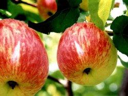 Летние старорусские сорта яблони (Коробовка)