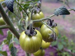 Как продлить жизнь томатам (опытом делится садовод-любитель)