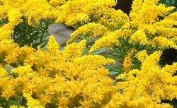 Солидаго (Solidago), золотарник, золотая розга