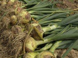 Лук репчатый требователен к почвенному плодородию