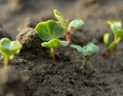 Почему плохо взошли семена?