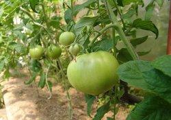 Последствия неблагоприятных факторов для овощных растений