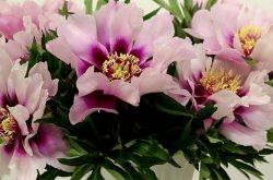 Почему плохо цветут пионы?