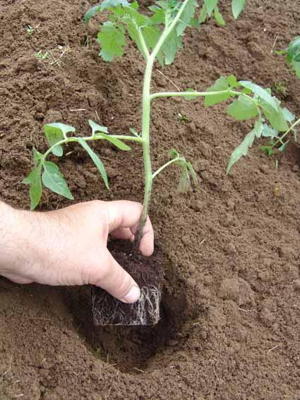 Как посадить рассады помидорами 11