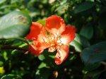 Посев семян айвы японской