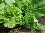 Правильная посадка салата (как это делали предки)