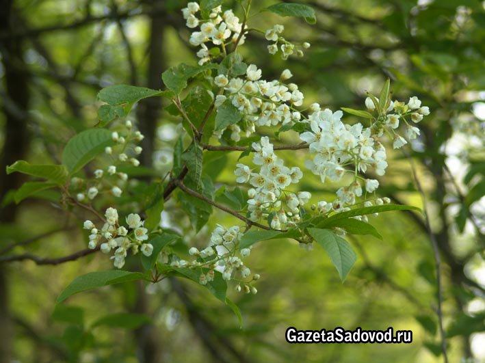 Черемуха – применение плодов, сорта и виды пригодные для выращивания в саду