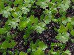 Посев сельдерея и уход за рассадой