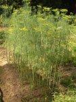 Укроп: выращивание, полезные свойства укропа