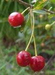 Сорта вишни для Ленинградской области