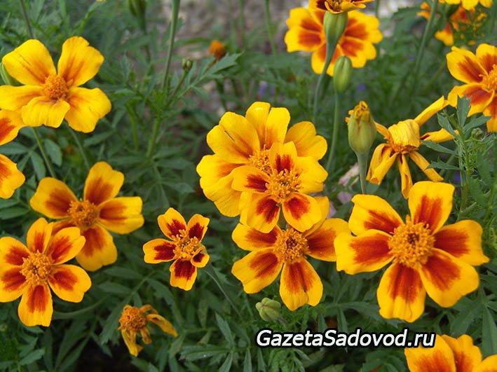 Выращивание канов цветы