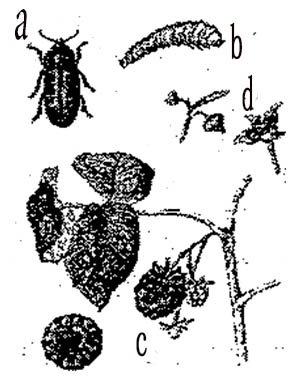 Малина болезни и вредители в картинках, буратино
