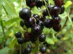 Как сохранить и переработать ягоды черной смородины