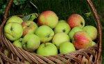 Посадка яблони и груши