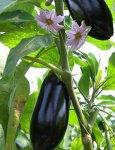Выращивание баклажанов. Из опыта садовода