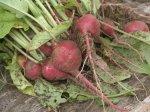 Редис. Как получить ранний урожай редиса
