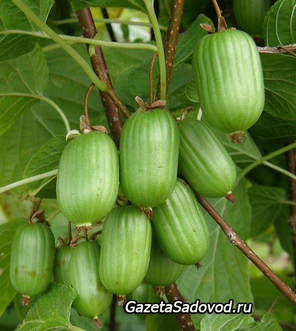 Всё о выращивании киви 697