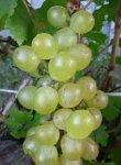 Виноград на Северо-Западе: выращивание, сорта