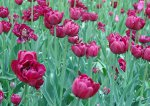 Как сохранить луковицы тюльпанов до весны?
