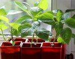 Крепкая рассада перца - залог будущего урожая