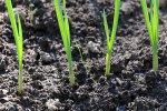 Яровой чеснок: мой опыт выращивания