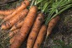 Способы повышения урожайности моркови