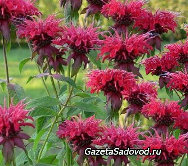 монарда цветение период